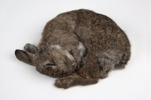 Rachael (European Rabbit)